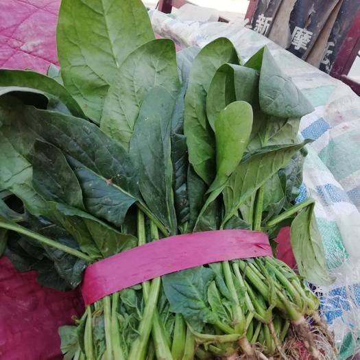 安阳滑县 油亮黑叶菠菜