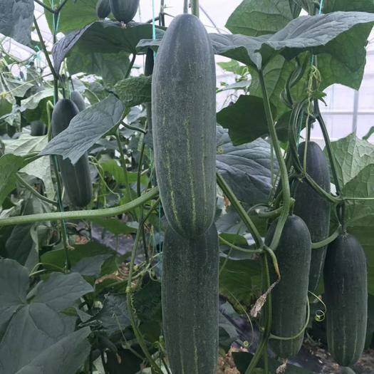 南靖县水果黄瓜种子 台湾胡瓜 水果吊瓜