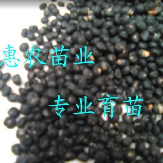 曹县 优质芦笋种子,育苗专用芦笋种