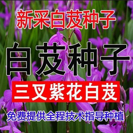 沭阳县 新采白芨种子紫花白芨种籽紫花三叉大白芨种子正品名贵中药材种子