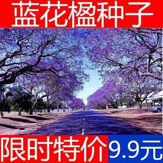 宿迁沭阳县女贞树种子 蓝花楹种子 蓝花楹净种子 带壳种子 高档绿化树种 蓝雾树包邮