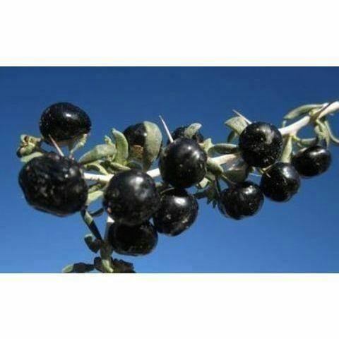 潍坊寿光市 黑枸杞种子稀有蔬菜种果种清除自由基不常见水果