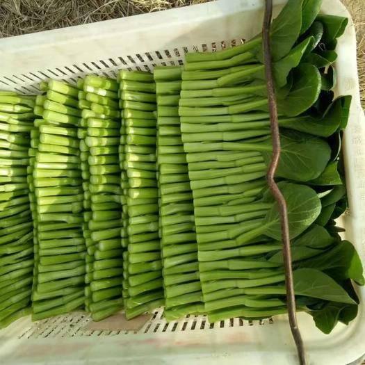 上海廣州菜心 10~15cm