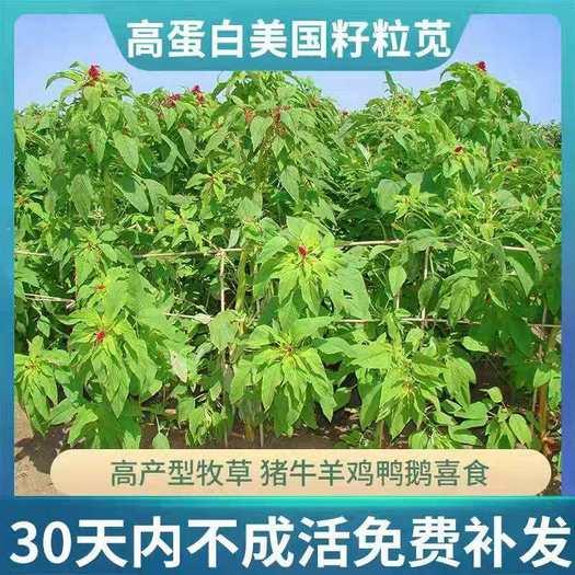 沭阳县 进口美国籽粒苋种子优质高产高蛋白畜禽牧草种子 黑白黄千穗谷
