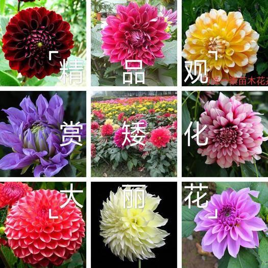 菏泽牡丹区大丽花苗 矮化大丽花,精品观赏大丽花,大花大丽花,保证质量,保成活