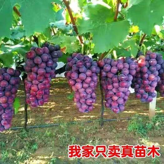 临沂平邑县 户太八号葡萄苗, 现挖现卖,根部保湿,包装细致,包成活