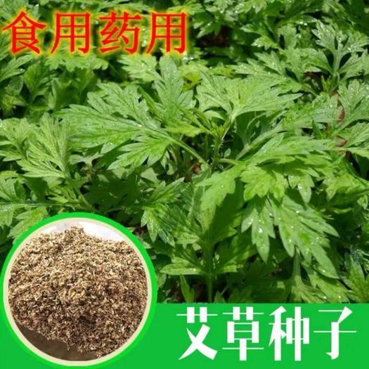 丽江宁蒗彝族自治县艾草种子 药食两用 大叶当年新种出芽率98%提供技术