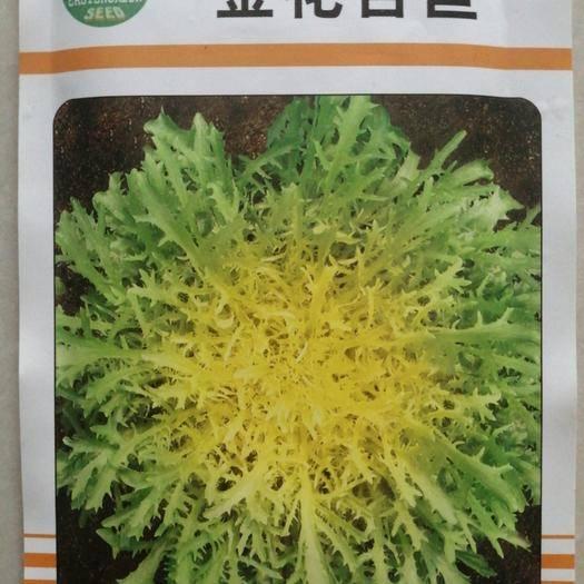 张掖苦苣种子 金花苦苣