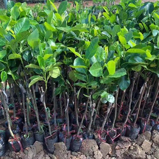 钦州灵山县 波罗蜜苗新品种泰国红肉12号,8号,5号,菠萝蜜苗