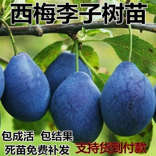 临沂平邑县 西梅苗 西梅李子苗 新品种 基地直销 保证品种纯度 包成活