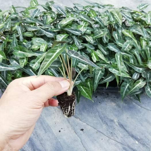 广州番禺区滴水观音种芋 基地直销 矮生观音莲组培穴盘苗 室内高档花卉绿植