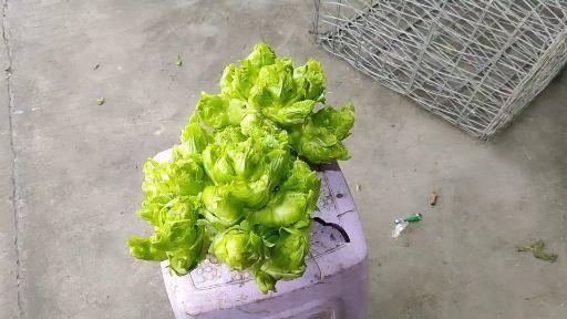 遵义红花岗区 原生态高品质绿色儿菜