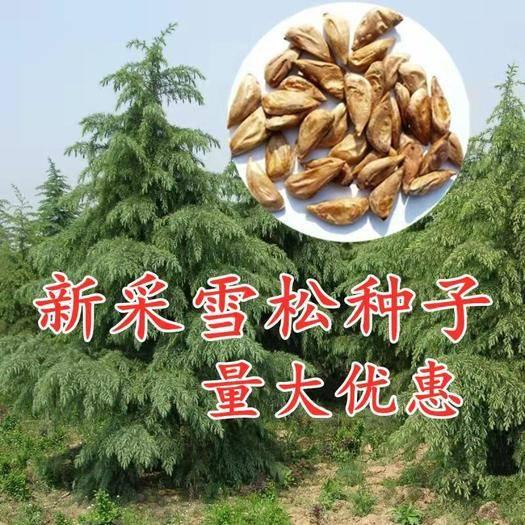 沭阳县 新采一级雪松种子正宗印度雪松树种子进口雪松籽宝塔松树种包邮