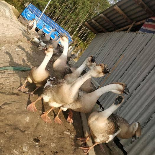 翁源县 出售7个月种母 公狮头鹅懂得过来联系