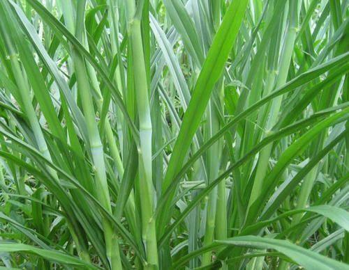 遵义凤冈县 多年生高产牧草、甜象草种节2毛钱一节 300节起发 包邮