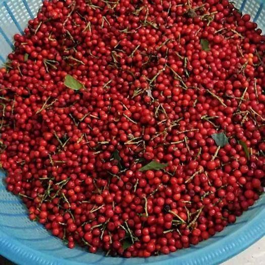 温州泰顺县 草珊瑚种子,鲜货,干货大量供应