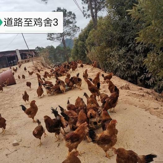 藤縣 180畝山地五個大棚土雞養殖場尋求合作