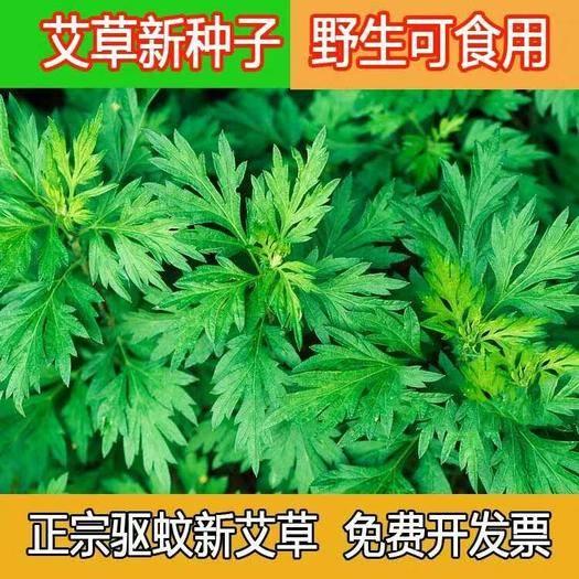 宿迁沭阳县 大叶艾草种子净籽艾叶香草籽种食用药用艾蒿艾绒纯正新种子