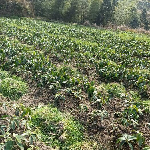 怀化通道侗族自治县黑老虎种子