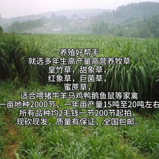 遵义凤冈县 皇竹草甜象草红象草巨菌草