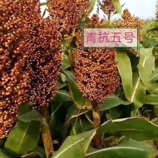 滄州青縣紅高粱種 青抗五號
