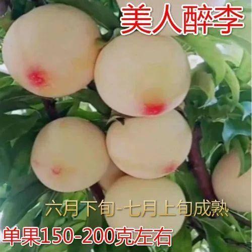 临沂平邑县 新品种红美人李子苗 美人醉李子苗 基地直销 保证品种纯度