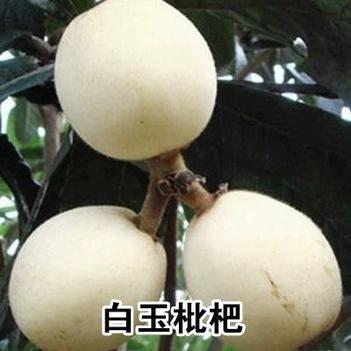 白玉枇杷苗 明年挂果的苗 品种齐全 保证品种纯度