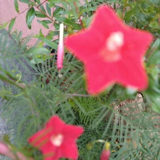 眉县羽叶莺萝种子 羽叶茑萝种子
