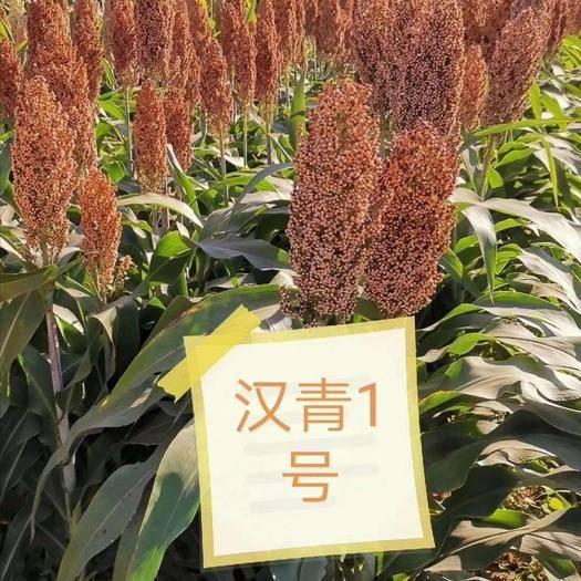 滄州青縣紅高粱種 漢青1號!矮桿品種,釀酒用,產量高!抗性高!品質好!