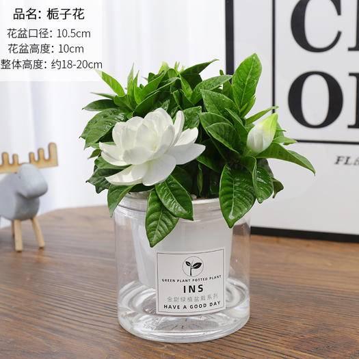 廣州 發財樹綠蘿蘆薈盆栽綠植花卉九里香多肉植物梔子花盆栽室內好養