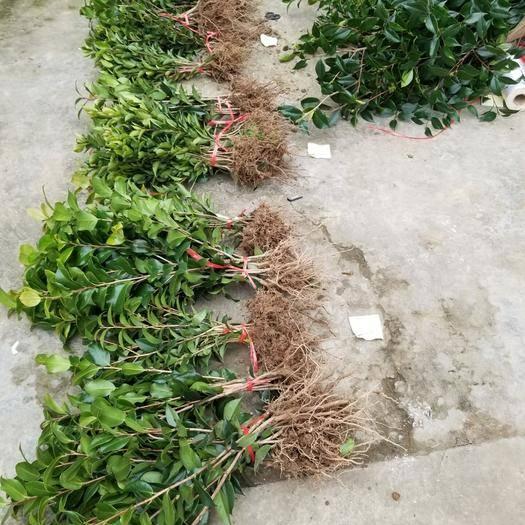 成都蒲江县茶花苗 相当好的苗子 品种好 规格多 自家土地种植 大量清地处理