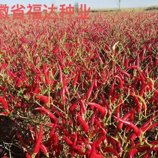 砀山县朝天椒种子 泰系高辣819,高产抗病毒,果长8~10厘米左右