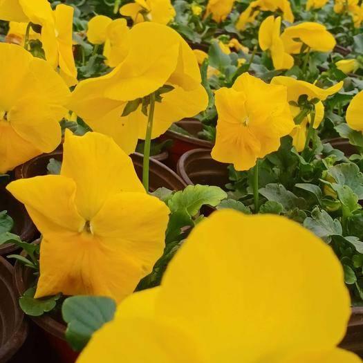 濰坊青州市 三色堇 花卉盆景 觀花植物 色帶 草花