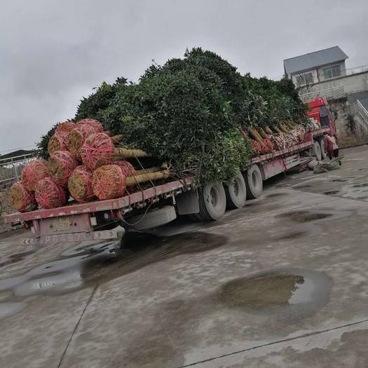 余庆县桂花树种子