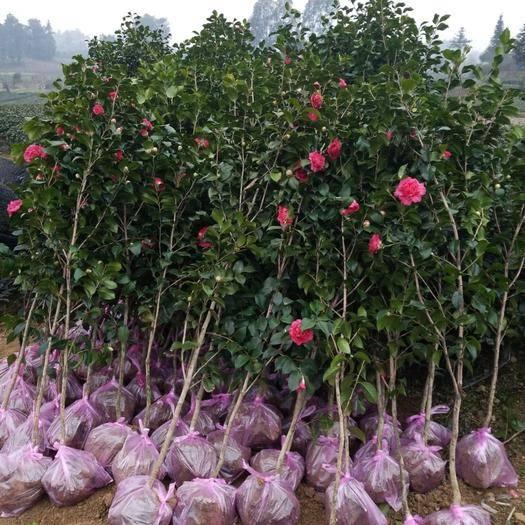 成都蒲江县茶花苗 茶花树 大量清地处理 自家土地种植