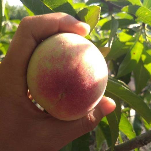 红河蒙自市水蜜桃 自己家种植的毛桃,自产自销,个大均匀,新鲜美味,现摘现装