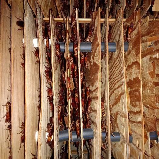 昆明盤龍區 美洲大蠊出售(幼蟲,蟲蛋,成中,干品),量大優先。