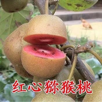 红心猕猴桃苗 纯正嫁接 品种齐全 保证品种纯度 包邮