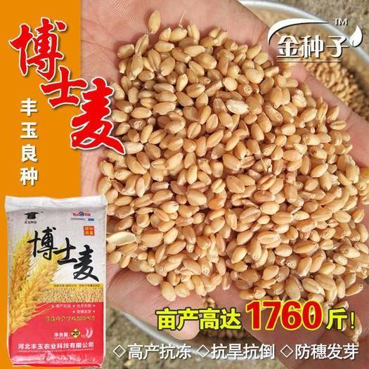 衡水桃城區 小麥種子