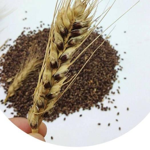 滄州青縣 黑小麥種子
