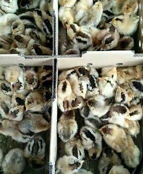 鸡苗红瑶鸡出壳苗包打马立克疫苗  包运输达百分百