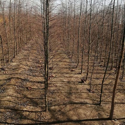 保定博野縣 一年生速生垂柳苗,2米以上高度。植株健壯。