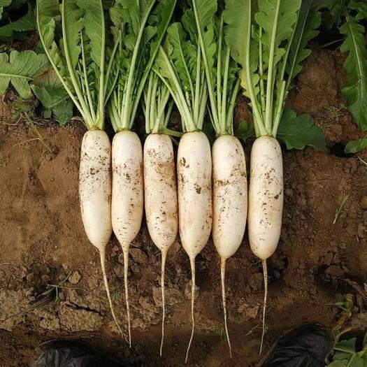 商丘夏邑县 雪王春白萝卜种子,肉质清脆,抗抽苔,纯白不糠心
