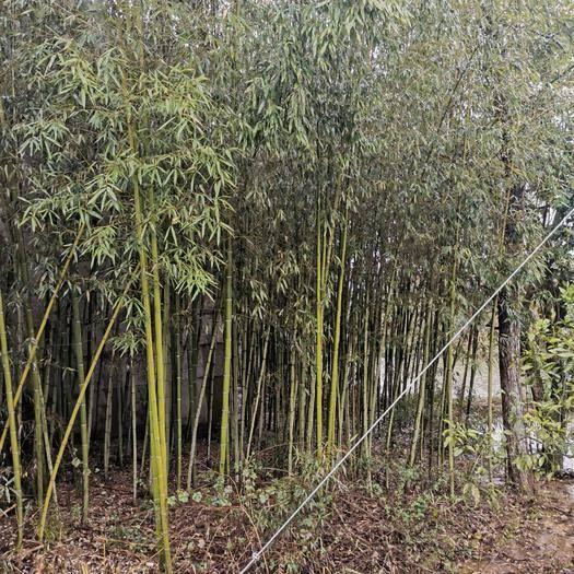 宜春宜豐縣 菜架竹