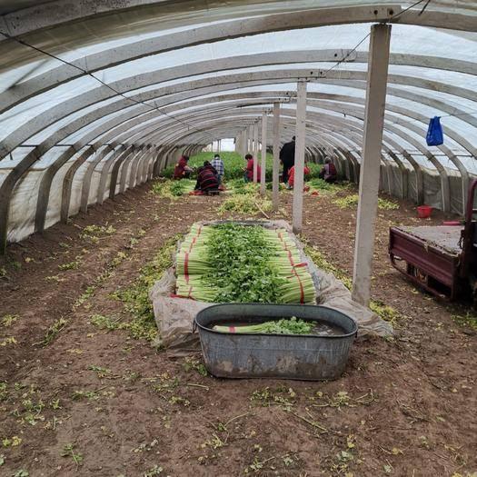 徐州沛县四季西芹 55~60cm 0.5~1.0斤 大棚种植