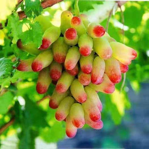 临沂平邑县 美人指葡萄苗,适合南北方种植,基地直销三包发货。