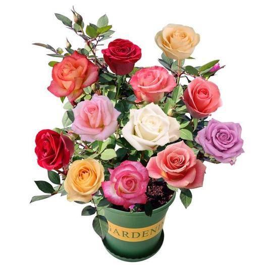 臨沂平邑縣 基地直銷玫瑰花苗月季大苗大花四季開花玫瑰老莊種苗