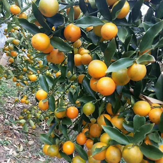 柳州融安县 广西融安滑皮金桔,滑皮金桔,保证48小时内发货,新鲜水果