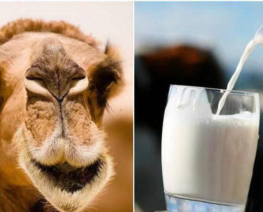 阿拉善阿拉善右旗 骆驼奶批发