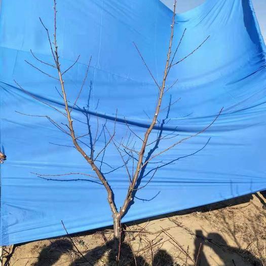 昌黎县农技人员 果树冬剪专业团队,夏季复剪,河北省秦皇岛